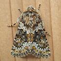 Noctuidae: Hecatera dysodea - Hecatera dysodea