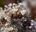 Tachina Fly sp - Gymnoclytia