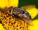 large fly - Peleteria