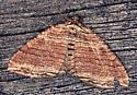 Moth - Anticlea multiferata