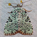 9065 Green Leuconycta - Leuconycta diphteroides