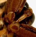 Belastomatidae  beak - Benacus griseus