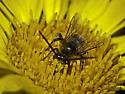 Long-antennaed beach bee - Melissodes - male