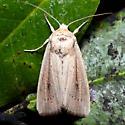 Leucania scirpicola
