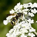 Hymenoptera - Leucospis affinis
