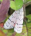 Perhaps Utetheisa ornatrix Ornate Bella Moth? - Utetheisa ornatrix