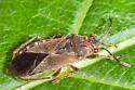 little bug - Arocatus melanocephalus