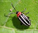 Flea Beetle - Disonycha glabrata
