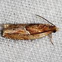 Strawberry Leafroller Moth - Ancylis comptana