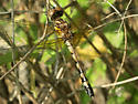 Blue Dasher? - Micrathyria hagenii - female