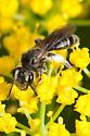 Andrena - Andrena ziziae - female