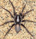 Spider - Gnaphosa