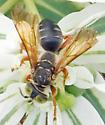 Unidentified Wasp - Tachytes distinctus - female