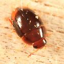 Shining Flower Beetle? - Stilbus