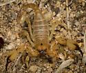 Anuroctonus phaiodactylus - male
