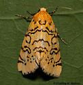 Chrysoecia atrolinea