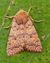 Bicolored Sallow - Sunira bicolorago
