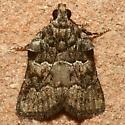 Moth - Satole ligniperdalis - male