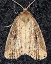 Noctuidae ? - Photedes panatela