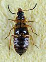 Ocellate Rove Beetle? - Pelecomalium