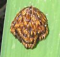 egg/larva mass