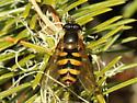 Syrphid sp. - Megasyrphus laxus - female