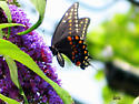 Unknown Butterfly - Papilio polyxenes - female