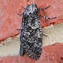 Prionoxystus robiniae - female