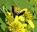 Unidentifed wasp - Scolia bicincta