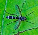 FlyTBID07262016 - Cordyligaster septentrionalis