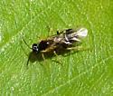 Sawfly - Heterarthrus nemoratus