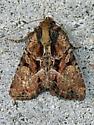 9401 Oblique Brocade Moth  - Xylomoia indirecta