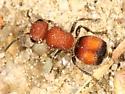 Velvet Ant - Pseudomethoca - female