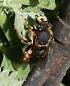 pollinator 5 - Anthidium manicatum - male