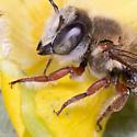 Red-legged Megachile Bee - Lithurginae?  - Megachile - male