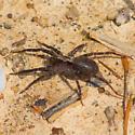 Brown-and-black-legged spider - Schizocosa
