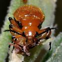 Blister Beetle - Tetraonyx fulva