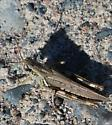 Sept hopper - Melanoplus femurrubrum - female