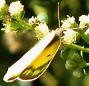 Orange Sulpher - Colias eurytheme - female