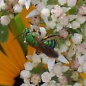 Agapostemon - Agapostemon splendens - female
