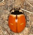 lady beetle - Coccinella trifasciata