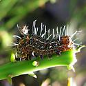 Larva   - Euscirrhopterus cosyra