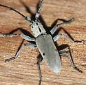 Longhorned Beetle - Dorcaschema cinereum