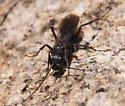 Is this a spider wasp? - Priocnemis minorata