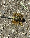 Yellow and Black Dragonfly - Leucorrhinia