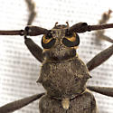 Flat-faced Long-horned Beetle - Knulliana cincta