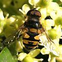 Fly - Transverse Flower Fly - Dorsal - male - Eristalis transversa - male