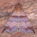 Lascoria ambigualis - female