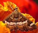 Some sort of Noctuoidea? - Spoladea recurvalis