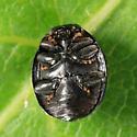 Chilocorus sp.? - Hyperaspis